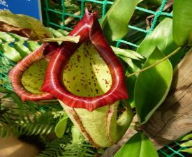 src/th/nepenthes--1.jpg
