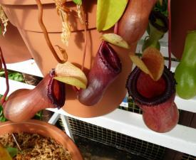 src/th/nepenthes-2.jpg