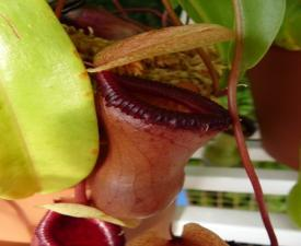 src/th/nepenthes-3.jpg